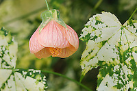 Flowering maple, Abutilon pictum, blossom, garden flower, Oberaegeri, Switzerland, August 2006