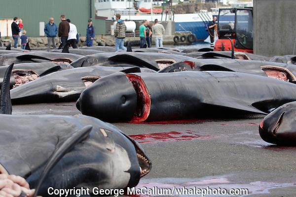 Whaling. Long-finned Pilot whales ( Globicephala melas ) Carcasses from Grindadrap on harbour in Torshavn, Faroe Islands, North Atlantic