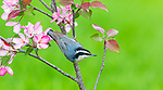 Red-breasted nuthatch perched in a flowering crabapple tree.