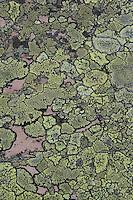 Gewöhnliche Landkartenflechte, Landkarten-Flechte, Krustenflechte auf Gestein, Rhizocarpon geographicum, map lichen