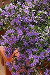 SCAVEOLA 'TOP POT BLUE', PALMFLOWER