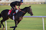 MEYDAN,DUBAI-MARCH 24: Manatee,trained by Andre Fabre,exercises in preparation for the Dubai Gold Cup at Meydan Racecourse on March 24,2016 in Meydan,Dubai (Photo by Kaz Ishida)