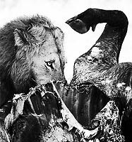 A male lion works on the carcass of a Cape buffalo.