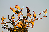 White Ibis (Eudocimus albus) roost in the Mississippi River Delta wetlands. Terrebonne Parish, Louisiana. September.
