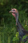 Tom turkey in a northern Wisconsin field.