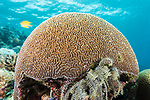 Russell Islands, Solomon Islands; a circular dome of brain coral growing on top of the reef near the water's surface with a golden damselfish swimming in the background