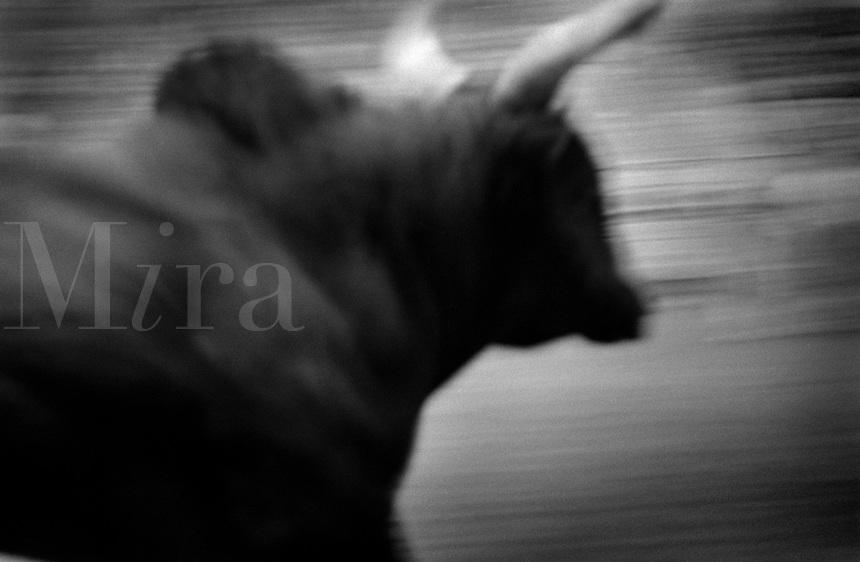 Black & white image of a rodeo - Spanish bull running. United States Rodeo.