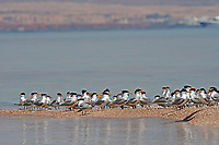 lesser crested tern, Sterna bengalensis, Red Sea, Egypt