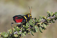 Horse Lubber Grasshopper (Taeniopoda eques), adult in defense pose on Ocotillo Cactus (Fouquieria splendens), Chisos Mountains, Big Bend National Park, Chihuahuan Desert, West Texas, USA