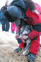 Lance Mackey booties lead dog Larry at White Mountain. Photo by Jon Little.