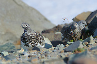 Adult female White-tailed Ptarmigan (White-tailed Ptarmigan) leading two foraging juveniles. Central Cascades, Washington. September.