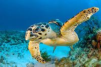 Hawksbill turtle, Eretmochelys imbricata, portrait, Cancun, Mexico, Caribbean Sea, Atlantic Ocean