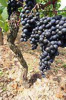 Bunches of ripe grapes. Clos Saint Julien, Saint Emilion, Bordeaux, France
