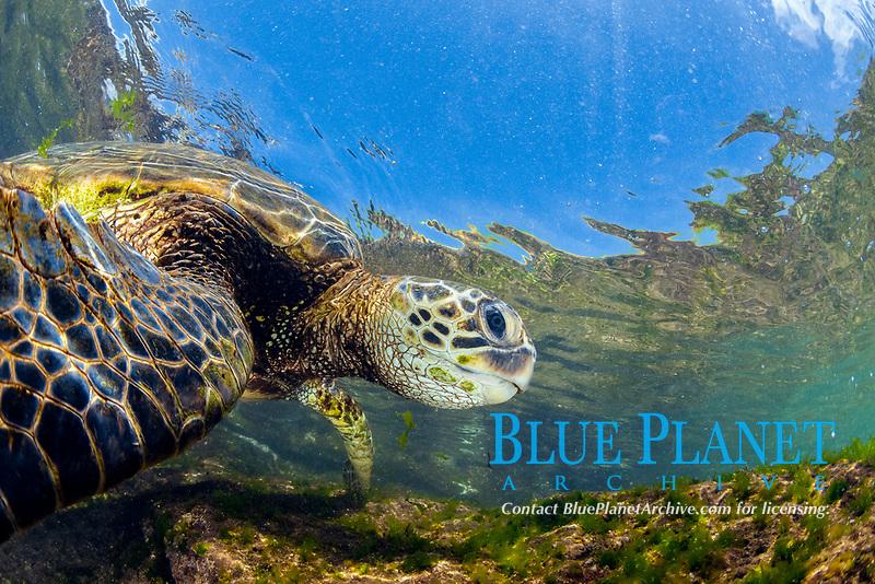 green sea turtle, Chelonia mydas, foraging in shallow reef for algae, endangered species, Laniakea Beach, Oahu, Hawaii, USA, Pacific Ocean