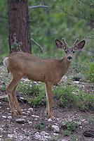 Mule Deer Buck in velvet on a summer day on southern Utah's, Dixie National Forest.