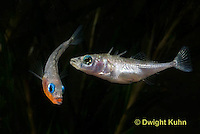 1S47-502z Threespine Stickleback, male courting gravid female with a zigzag dance, she responds with a head-up posture to display her swollen belly, Gasterosteus aculeatus