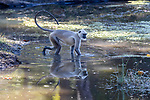 Adult grey or Hanuman langur (Semnopithecus entellus) feeding on pond weed. Kanha National Park, Madhya Pradesh, Central India.