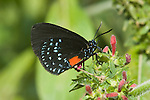 ATALA HAIRSTREAK BUTTERFLY, EUMAEUS ATALA FLORIDA