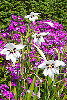 Gladiolus murielae aka Acidanthera bicolor, tropical African species gladioli, fragrant Abyssinian gladiolus in white and purple marked flowers in summer bulb bloom, with purple Phlox paniculata, both are fragrant flowers