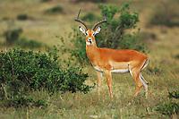 Impala (Aepyceros melampus), male, Masai Mara, Kenya, Africa