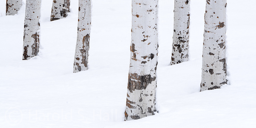Aspen trees in winter.  May eventually be part of my B&W in color series.