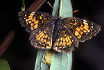 Harris's Checkerspot Butterfly, Chlosyne harrisii laying eggs