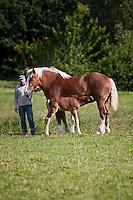 Europe/France/Nord-Pas-de-Calais/59/Nord/Bailleul: pouliches : Denis Beck (brasseur) et ses chevaux de traits flamands :Vlaamse paard  à la Ferme Brasserie Beck