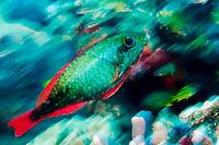 Redband Parrotfish, initial phase (Sparisoma aurofrenatum), St. Kitts, Caribbean.