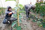 Foto: VidiPhoto<br /> <br /> RANDWIJK – Met enkele vakantiewerkers is de jonge boomkweker Roy Wennekes van RW Green uit Heteren donderdag aan het 'tangen' op zijn perceel in Randwijk (Betuwe). Met een speedotang wordt het jonge boompje met elastiek vastgemaakt aan een bamboestok om de groei te begeleiden. Boomkwekers moeten nu flink aanpoten om de enorme groei van de bomen bij te houden. Dankzij de overvloedige regenval groeien bomen, maar ook het onkruid, als kool. Vorig jaar rond deze tijd was het kurkdroog en moesten boomkwekers hun gewassen beregenen om te voorkomen dat alles dood ging. RW Green bestaat pas drie jaar en verzorgt de opkweek van 50 soorten bomen voor de grotere kwekers in de regio.