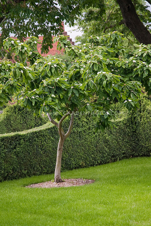 Medlar tree in bloom in spring Mespilus germanica, with lawn, hedge, house