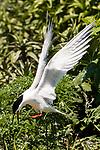 Endangered Roseate tern flying over tern colony.