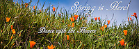 """California poppies announce, """"Spring is Here!  Dance with the Flowers!""""  In an image cropped for graphic use at an 8.5X3 perspective."""