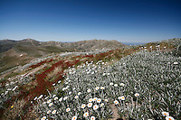 Snow Daisies in the Snowy Mountains, High Country