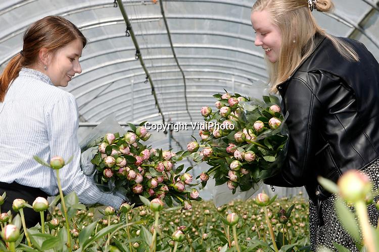 Foto: VidiPhoto<br /> <br /> SLIJK-EWIJK - De bloemenmeisjes Nienke Crum (blond, 16) en Mariet Bunt (18) tillen woensdag grote bossen versgeoogste pioenen uit de overkapte pluktuin in Slijk-Ewijk, gereed voor bezorging aan huis. De pioenen zijn van fruitteler Frederik Bunt uit Slijk-Ewijk (gem. Overbetuwe) en bestemd voor klanten in de hele Betuwe. De online bestellingen zo vlak voor moederdag rollen massaal binnen en de populaire pioenrozen zijn niet aan te slepen. Moederdag, een nog beperkte oogst op dit moment en de kleur roze die nauwelijks op voorraad is, zorgt er voor dat de stelen op dit moment flink aan de prijs zijn. De verwachting is dat zodra oogst van de pioenrozen over enkele weken buiten start en het aanbod flink toeneemt, ook de prijzen dalen. Steeds meer fruittelers, akkerbouwers en tuinders stappen in de pioenteelt voor extra cash flow in een magere periode van het jaar en om het personeel aan het werk te houden.