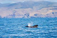 short-finned pilot whale, Globicephala macrorhynchus, surfacing, La Gomera, Canary Islands, Spain, Atlantic Ocean