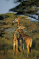 "Masai Giraffe (Giraffa camelopardalis), East Africa. Young males ""necking"" (dominance behavior)."