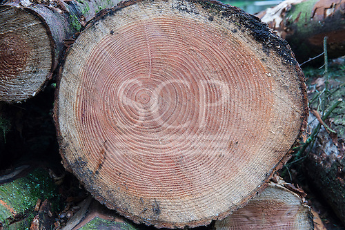 Cut end of a pine log showing uneven and lopsided concentric growth rings; the tree is 42 years old.