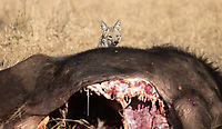 A side-striped jackal investigates a buffalo carcass while the lions are away.<br /> <br /> Photo © Jennifer Waugh