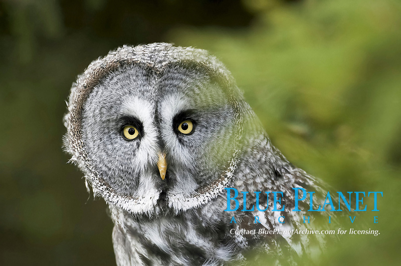 great grey owl or great gray owl (Strix nebulosa), adult, portrait, looking through conifers