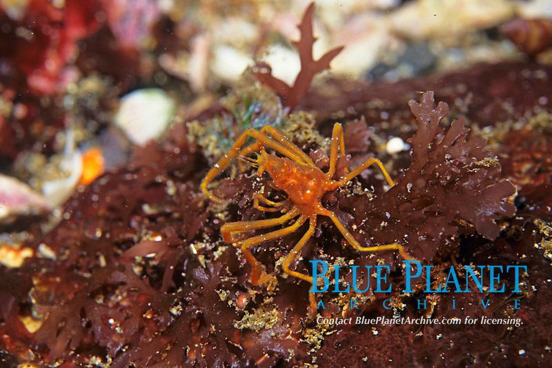 Majoidae Samouelle crab, unidentified, Izu ocean park, Sagami bay, Izu peninsula, Shizuoka, Japan, Pacific Ocean