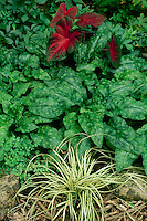 Caladium, Carex Evergold and Pulmonaria, Mrs. Moon, Missouri