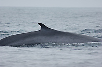 Fin Whale, Balaenoptera physalus, Dorsal fin, Off the coast of San Diego California