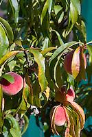 Prunus persica 'Peach Bonana' gentic dwarf peach (F) fruits