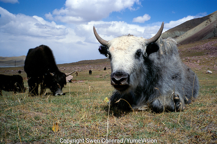 A herd of Kyrgiz Yak's.The M41 Highway from the Ismaili capital of Khorog to the south capital of Kyrgyzstan - Osh, via the head district of Badakhshan - Murgab and the Akbajtal Pass at 4655 meters.