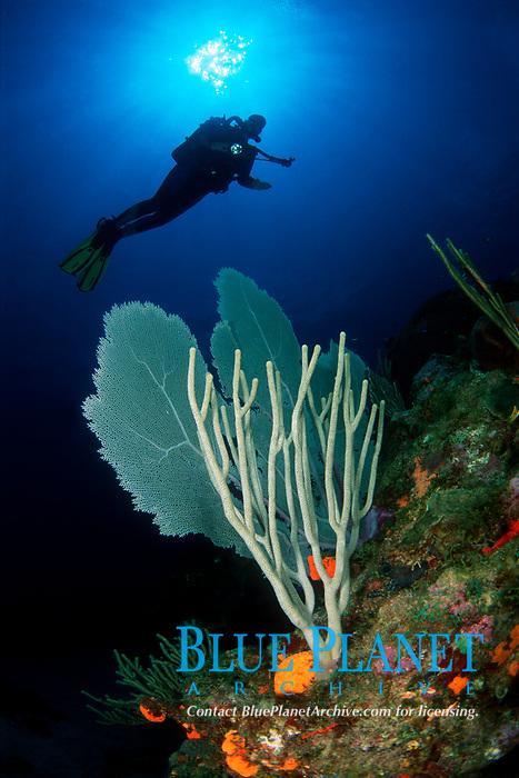 Common Sea Fan, Gorgonia ventalina, Porous Sea Rods, Pseudoplexaura spp., and Diver on Rebreather, Draeger Dolphin, Saba, Netherlands Antilles, Caribbean Sea, Atlantic, Atlantic
