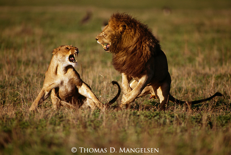 Mating Lion and Lioness in Africa.