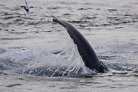 Megaptera novaeangliae Humpback whale slapping tail on surface whilst lunge feeding on Capelin and krill near Spitzbergen Arctic Norway