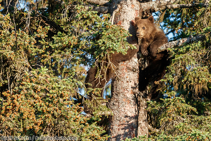 Brown Bear spring cubs climb in spruce tree for safety in Lake Clark National Park.  Silver Salmon Creek area. Western Alaska  Summer<br /> <br /> Photo by Jeff Schultz/  (C) 2020  ALL RIGHTS RESERVED