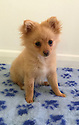 """21/04/16 <br /> <br /> ***BEST QUALITY COLLECT PHOTO AVAILABLE***<br /> <br /> This cute little cub 'foxed' everyone when she turned out to be not an abandoned fox cub but a 14-week-old Pomeranian puppy which can fetch up to £1,000.<br /> <br /> Concerned passers-by noticed the little mite cowering on the roadside and took her to animal rescue and wildlife sanctuary Harper Asprey in Windlesham, Surrey.<br /> <br /> The staff there quickly recognised she was in fact a puppy and scanned her to see if she had a chip.<br /> Fortunately she did and the story had a happy ending when she was reunited with her worried owners.<br /> <br /> Nigel Palmer from the wildlife centre said: """"We microchip our wildlife and all of us have dogs and cats and are very aware of the importance of chipping. <br /> <br /> """"Fortunately the little puppy was microchipped and after a quick scan at the rescue we were able to contact her very worried and extremely stressed mummy. <br /> <br /> """"Always remember to microchip your puppy, it got this young lady home. <br /> """"We're really happy now she's back at home and so glad she dropped in.""""<br /> <br /> ***More information***<br /> Puppy's name is Florrie, <br /> owners prefer not to be identified nor location of puppy be revealed.<br /> <br /> All Rights Reserved: F Stop Press Ltd. +44(0)1335 418365   +44 (0)7765 242650 www.fstoppress.com"""