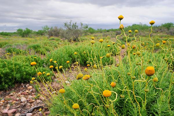 Saladillo, Texas Varilla (Varilla texana), Laredo, Webb County, South Texas, USA